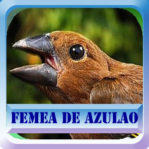 Fêmea de Azulão