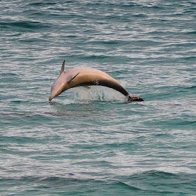 show off by Justine McGrath - Animals Other Mammals ( water, dolphin, ocean, surf, sun )