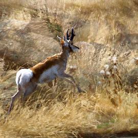 Pronghorn by Gaylord Mink - Digital Art Animals ( pronghorn, rocks, animals, digital art )