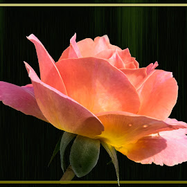 A Flower by Joan Sharp - Digital Art Things ( deep green background, rose, picture frame, flower, peachypink )