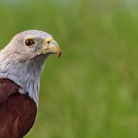 by Neelakantan Iyer - Animals Birds (  )