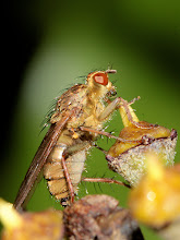 Photo: Ugh dust spot. Common Yellow Dung Fly blowing a bubble.