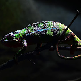Reptile by Sankar GM - Animals Reptiles ( zoo, night life, reptile, in the dark, singapore )