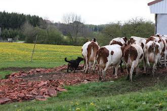 Foto: Vulcain aan het werk met zijn koeien in Villeneuve d'Amont, Frankrijk