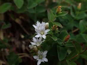 ミヤマリンドウの白花