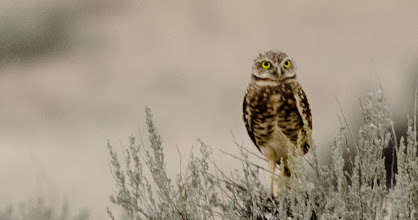 Photo: Burrowing Owl