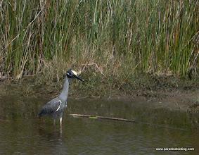 Photo: Yellow-crowned Night-Heron, near McAllen, Texas