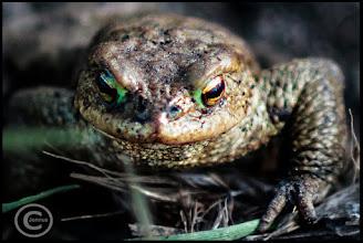 Photo: Wie jedes Jahr im Frühjahr bei steigenden Temperaturen beginnen bald wieder die Laichwanderungen der heimischen Amphibien.  Naturfotografie: http://goo.gl/ITvFrA