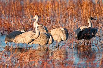 Photo: Group of sandhill cranes enjoying first light