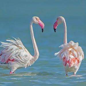 Greater Flamingo (1).jpg