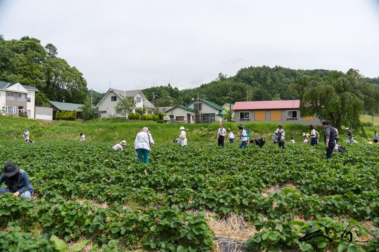 佐伯農園のミニトマトと「けんたろう苺」の収穫体験