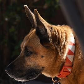 Cuddlz On Watch by Mel Bishow - Animals - Dogs Portraits ( © mel bishow,  )