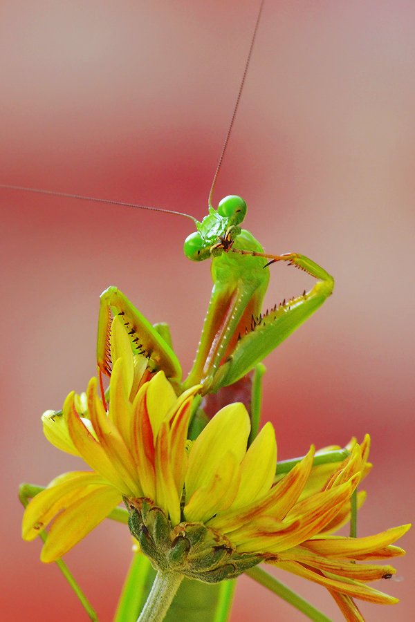 mantis in the color by Tele Nicotin - Animals Insects & Spiders