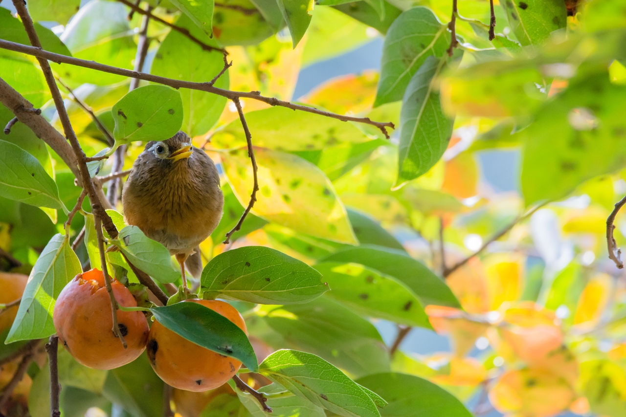 Photo: 甘い誘惑 Sweet temptations.  甘い香り みずみずしい果汁 熟れた果実が魅了する そこに現れるのは 目を輝かせる食いしん坊  Hwamei. (ガビチョウ)  #birdphotography #birds  #cooljapan #kawaii  #nikon #sigma   Nikon D7200 SIGMA 150-600mm F5-6.3 DG OS HSM Contemporary  大塩貴文 写真展『まなざし』 2015年11月20日[金]-29日[日] < http://islandgallery.jp/12134 >