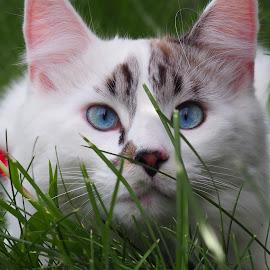 Beau by Nikki Hutchins - Animals - Cats Playing ( #ragdollcat )