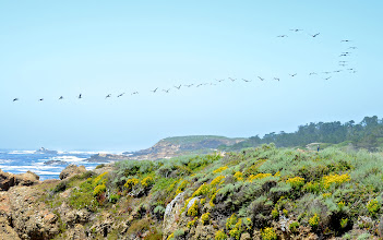 Photo: 113. Wow, that's a lot of pelicans in formation!