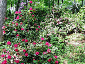 Photo: Hamilton Rhododendron Gardens 2