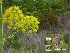 """Photo: ferula communis UMBELIFERAE ΜΟΝΑΣΤΗΡΑΚΙ ΙΕΡΑΠΕΤΡΑΣ  ΑΡΤΗΚΑΣ ή ΝΑΡΘΗΚΑΣ.Ο Νάρθηκας είναι ένα πολύ γνωστό πολυετές, ποώδες φυτό με χοντρό βλαστό και γερή ρίζα που μπορεί να φτάσει μέχρι και 3 μέτρα ύψος. Ανήκει, μαζί με 60 περίπου άλλα είδη που φυτρώνουν στις παραμεσόγειες περιοχές και στη Δ. Ασία, στο γένος Φέρουλα (Ferula) της οικογένειας των Σκιαδοφόρων (Umbeliferae) στην ίδια δηλαδή οικογένεια με το Σέλινο, το Γλυκάνισο, το Μαϊντανό και τον Άνηθο με τον οποίο μοιάζουν πολύ. Τα φύλλα του είναι σύνθετα, λεπτά, πολυσχιδή με γραμμοειδή φυλλάρια και θυμίζουν αυτά του άνηθου. Τα άνθη του είναι μικρά και κίτρινα, με πέντε πέταλα. Εμφανίζονται σε μεγάλες ταξιανθίες στην κορυφή των βλαστών από τον Απρίλιο έως το Μάιο. Όλα τα είδη του γένους είναι αρωματικά και μερικά χρησιμοποιούνται στη φαρμακευτική.  Η Φέρουλα η κοινή (Ferula commumis) όπως είναι το επιστημονικό όνομα του Νάρθηκα ή Κοινού άρτηκα φυτρώνει σε πεδινά μέρη και κατά μήκος των δρόμων. Ο βλαστός της, που είναι παχύς και γραμμωτός, φθάνει ως και 3 μ. ύψος. Κάνει πολλά σκιάδια, με πάρα πολλά άνθη και φύλλα μεγάλα, Iδιαίτερα αυτά της βάσης. Είναι φυτό δηλητηριώδες και τα ζώα αποφεύγουν να το βόσκουν. Το φυτό αυτό είναι ο """"νάρθηξ"""" των αρχαίων ελλήνων."""