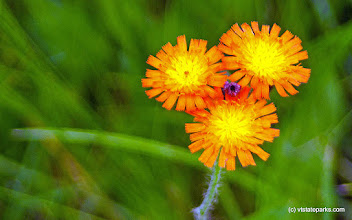 Photo: Hawkweed at Boulder Beach State Park by Paul Anderson