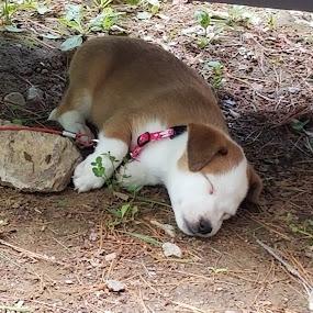Wee Willie by Ingrid Bjork - Animals - Dogs Puppies ( puppy, dog, sleeping,  )