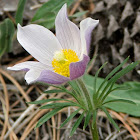 American Pasqueflower