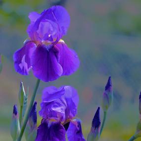 by Teresa Wooles - Flowers Flower Buds ( iris, flowers,  )
