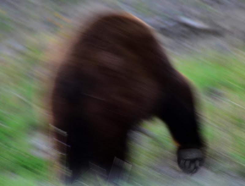 orso bruno  di Susy65