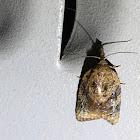 Tufted Applebud Moth