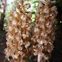 Birds-Nest Orchid