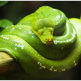 Green Snake on a Branch by Arunkumar Boyidapu - Animals Reptiles ( python, poisonous, snake, green, branch,  )