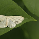 large lace-borde