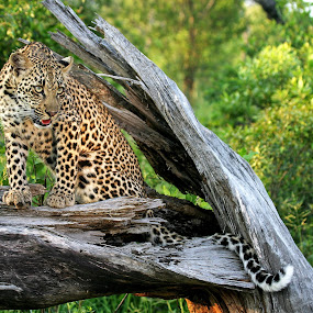 Young leopard by Andre de Kock - Animals Lions, Tigers & Big Cats ( big cat, kruger national park, free leopard, leopard in tree, safari, wild leopard, leopard )