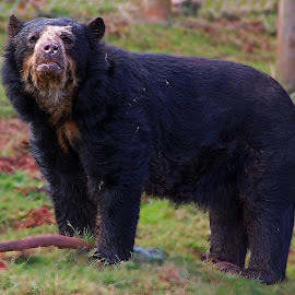 Big Bear by Wilson Beckett - Animals Other Mammals