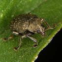 Leaf beetle