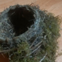 American Robin's nest