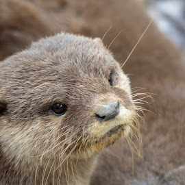 Otter close up - WMZ by Fiona Etkin - Animals Other Mammals ( whickers, close up, mustelid, nature, mammal, animal, otter )