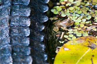 Photo: Small frog courting danger - Corkscrew Swamp Sanctuary