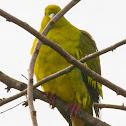 Ceylon green pigeon, sri lanka green pigeon