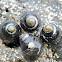 Black turban snail