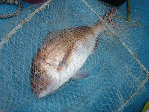 Photo: 真鯛も入りました。 さすがイノウエさん!