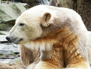 Photo: Ein entspannt laechelnder Knut :-)