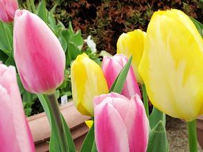 Photo: Pink and yellow tulips at Wegerzyn Gardens in Dayton, Ohio.