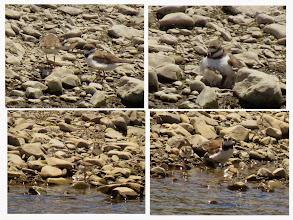 Photo: 撮影者:hamada sanae コチドリ タイトル:コチドリの家族 観察年月日:2014年7月8日と11日 羽数:4羽(親鳥2羽、雛2羽) 場所:浅川一番橋下流300M 区分: メッシュ:武蔵府中1K コメント:8日に見た時は孵化したばかりのようでほとんど親鳥のお腹にもぐって時々近くを歩くぐらいでしたが11日には雛2羽が親鳥から少し離れた所まで歩いたり水浴びしたりしていました 近くにカワラヒワ4~5羽が舞い降りると親鳥が猛然と追い払っていました