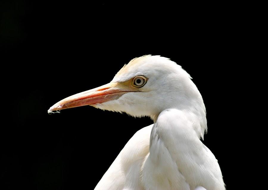 by Chundi Lawin - Novices Only Wildlife ( bird, d3000, nikon, animal )