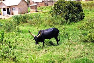 Photo: Longhorn cows in Uganda