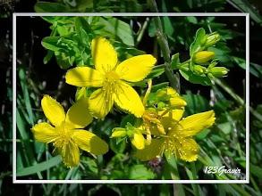 Photo: Millepertuis commun, Hypericum perforatum