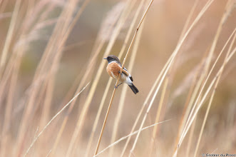 Photo: African Stonechat (Afrikaans: Gewone Bontrokkie), Golden Gate Highlands National Park (South Africa).