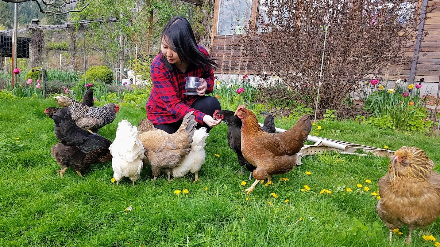 Feeding the chickens that helped provide the farm fresh eggs at my breakfast at Big Apple Organic Farm, a cute AirBnB / bed and breakfast by Mount Hood slightly south of Hood River