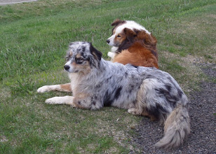Photo: These are Icelandic sheep dogs.