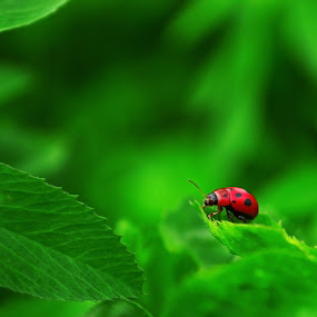 Lady Bug_03 by Victor Pavel - Nature Up Close Flowers - 2011-2013 ( ... )